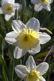 Daffodils in the garden. Narcissus is a genus of predominantly spring perennial plants. Various common names including daffodil, daffadowndilly, narcissus, and royalty free stock photos