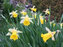 Daffodils in garden Royalty Free Stock Images