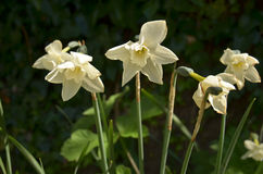 Daffodils (Gen; Narcissus) Stock Photography