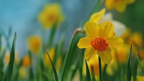 Daffodils In Gentle Breeze stock video footage
