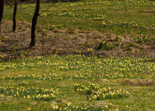 Daffodils in the German forests Royalty Free Stock Photo