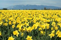 Daffodils gialli immagine stock