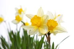 Daffodils gialli della sorgente Fotografia Stock