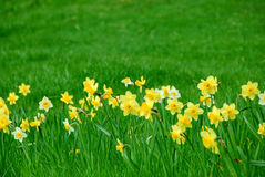 Daffodils and grass stock photos