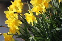 Daffodils in the grass in capelle aan den IJssel in the morning. Sun Royalty Free Stock Image