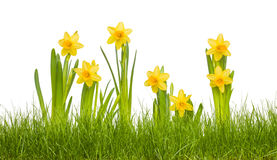 Daffodils in grass. Isolated daffodil flowers in grass Royalty Free Stock Image