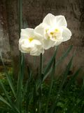 Daffodils and Grave. Two beautiful white daffodils stand in front of an ancient gravestone Royalty Free Stock Photo