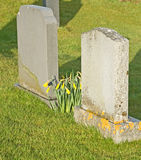 Daffodils beside gravestones. Stock Image
