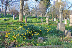 Daffodils in a graveyard Stock Image
