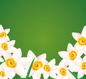 Daffodils on green background. Stock Photos