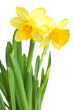 Daffodils in green grass Stock Photography