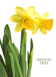 Daffodils in green grass Royalty Free Stock Photography