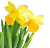 Daffodils in green grass Stock Image