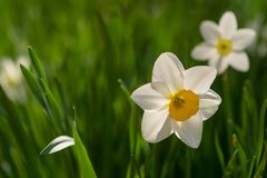 Daffodils on a green lawn background stock photography