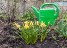 Daffodils and green plastic watering can Royalty Free Stock Photography