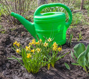 Daffodils and green plastic watering can Royalty Free Stock Images