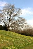 Daffodils on a green slope, bare trees in spring Stock Photo
