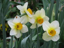 Daffodils on Green Royalty Free Stock Photo