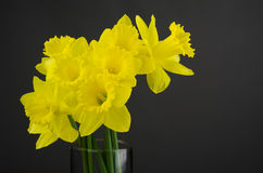 Daffodils with Grey Background. Bouquet of daffodils in a cylindrical glass vase against dark grey background royalty free stock photos