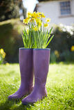Daffodils Growing Out Of Purple Wellington Boots Stock Image