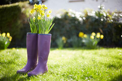 Daffodils Growing Out Of Purple Wellington Boots Stock Photo
