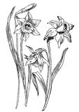 Daffodils. Hand drawn pen and ink daffodils botanical illustration. Colors can be changed easily. Flowers are separate groups Stock Image