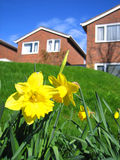 Daffodils and houses Royalty Free Stock Photo