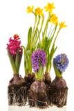 Daffodils and hyacinths Stock Image