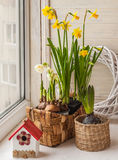 Daffodils and hyacinths in baskets Stock Images