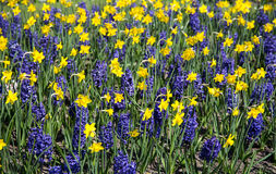 Daffodils and hyacinths Royalty Free Stock Photos