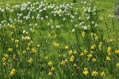 Daffodils in Hyde Hall Gardens Stock Image