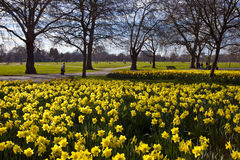 Daffodils in Hyde Park. Beautiful Daffodils in London's Hyde Park Royalty Free Stock Photos