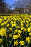 Daffodils in Hyde Park Stock Image