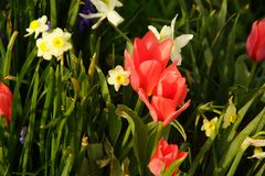 Daffodils i tulipany zaświecali światłego światłem słonecznym Zdjęcie Stock