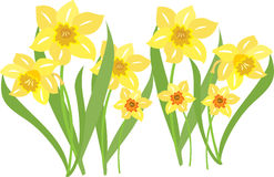 Daffodils. An illustration of daffodils swaying in the breeze Royalty Free Stock Images