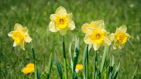 Daffodils Stock Photography