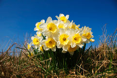 Daffodils In The Grass Against Blue Sky Royalty Free Stock Photography