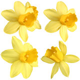 Daffodils Isolated Stock Image