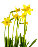Daffodils on isolated background Stock Photo