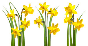 Daffodils isolated on white. Background Stock Photo