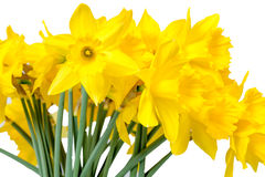 Daffodils isolated on White Royalty Free Stock Image
