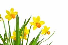 Daffodils isolati su priorità bassa bianca Fotografia Stock