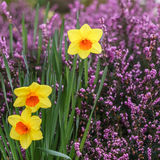 Daffodils or japan narcissus outside with pink flowers on background. Daffodils or japan narcissus outside with small pink flowers on background Royalty Free Stock Image