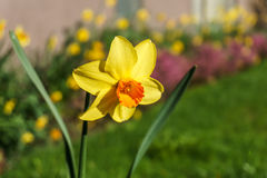 Daffodils or japan narcissus outside on the sunshine blurry background royalty free stock photo