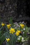 Garden Daffodils Flowers Light Rain. Just Another Spring Rain In The Garden Royalty Free Stock Images