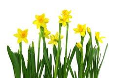 daffodils kolor żółty Obraz Royalty Free