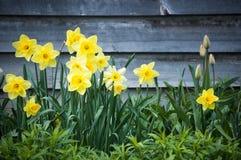 daffodils kolor żółty Obrazy Stock