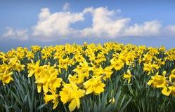 Daffodils kwiatów miłości serce Obrazy Royalty Free