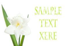 daffodils kwiaty Obraz Royalty Free
