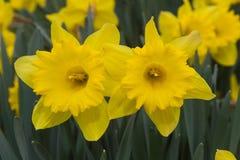 Daffodils kwiaty Zdjęcia Stock